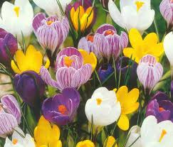 winter flowers mixed crocus